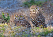 burrowing owls 1 1024ws