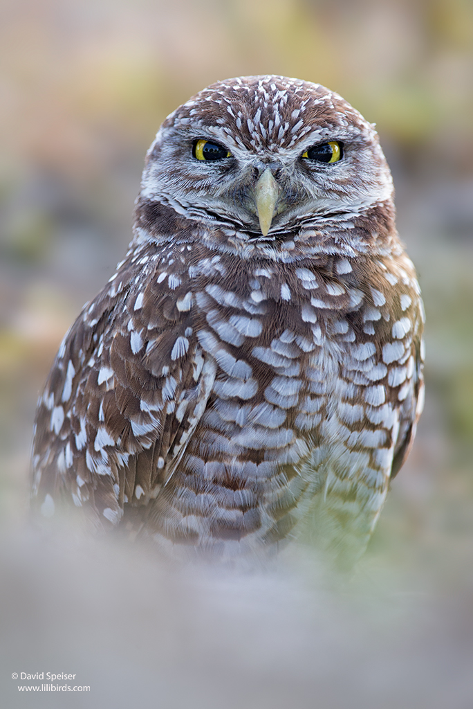burrowing owl 2 1024ws