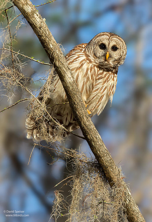 barred owl 3 1024 ws