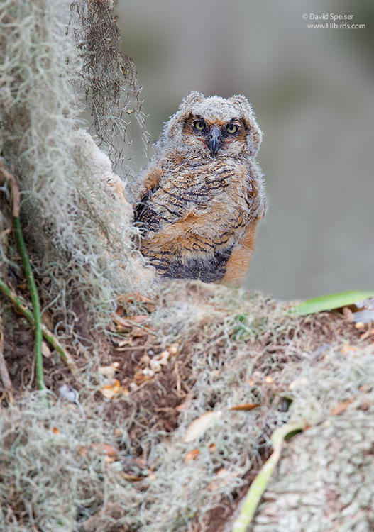 great horned owlet 1 1024 ws