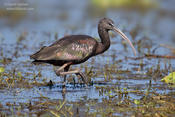 glossy ibis 1 ws