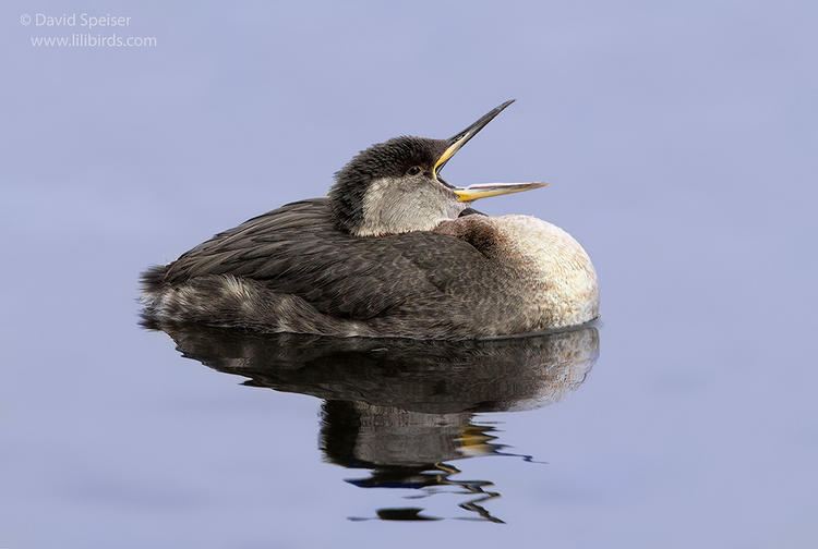red-necked grebe 1e 1024ws