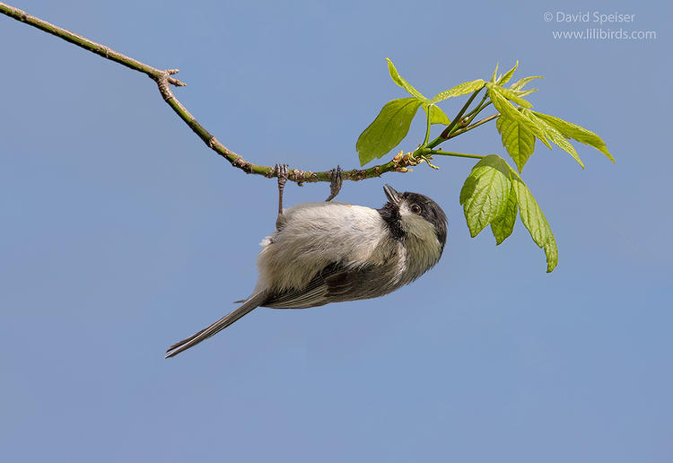 carolina chickadee 1b ws