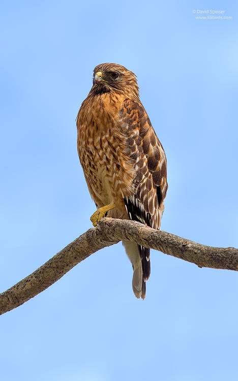 red shouldered hawk 1a 1024 ws