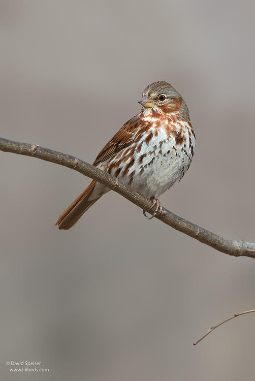 fox sparrow 1 cp ws
