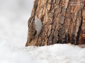 brown creeper 1a cp 1024 ws