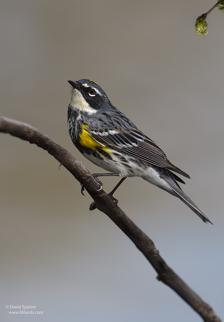 yellow rumped warbler 1 5-14 1024 ws