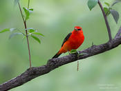 scarlet tanager 1e 1024 ws