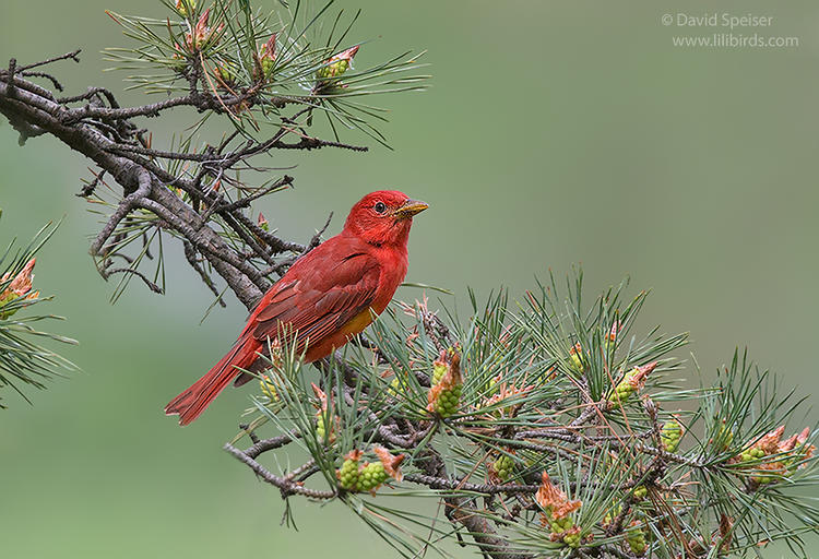 summer tanager cp 1b 1024 ws