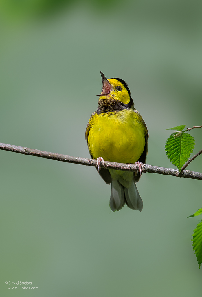 hooded warbler 1a ws