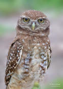 burrowing owl 1 2014 ws