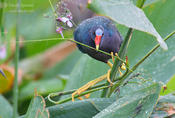 puple gallinule 2 1024 ws