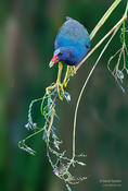 purple gallinule 1 1024 2014