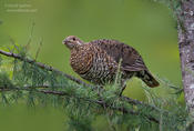 spruce grouse 2 1024 ws