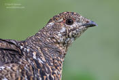 spruce grouse head shot 1b ws 1024