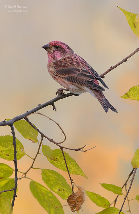purple finch 1 cp 1024 ws
