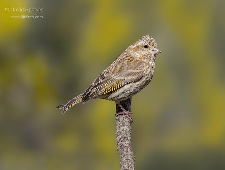 purple finch 11-19-14 2a ws