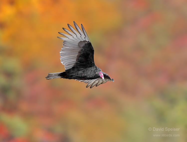 turkey vulture 1 1024 2014 ws