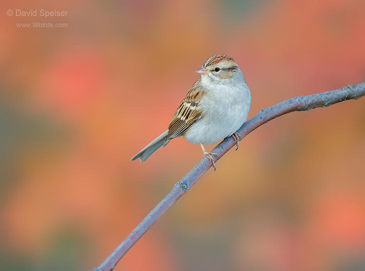 chipping sparrow 1 1024 ws
