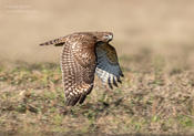 red-shouldered hawk 2b ws