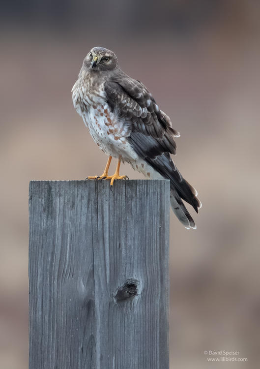 northern harrier 1 oil city 1024 2014 ws