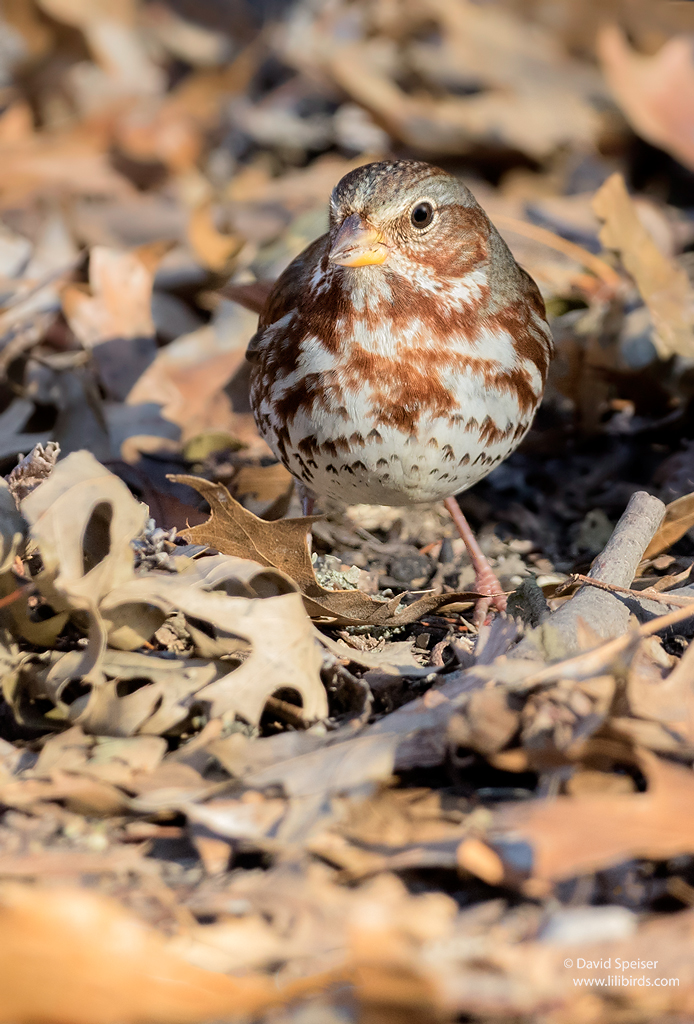fox sparrow 2 cp 1024 ws
