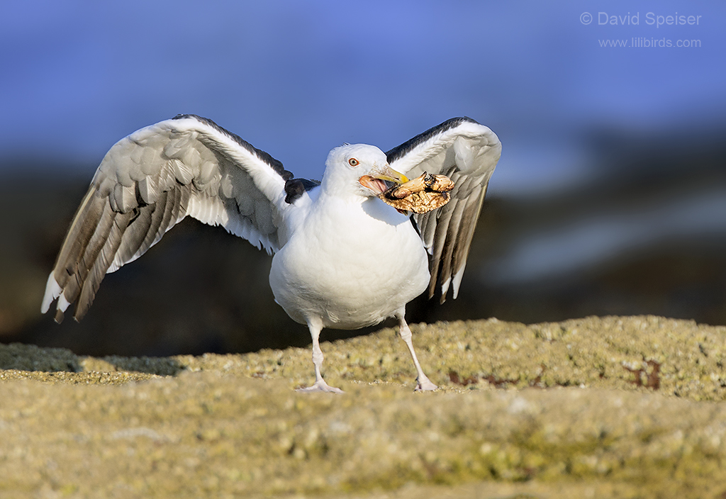 great black backed gull1a ws