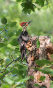 pileated woodpecker 1 1024 ws