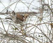 red-tailed hawk 4 1024 ws