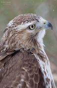 red-tailed hawk 2 1024 cp ws