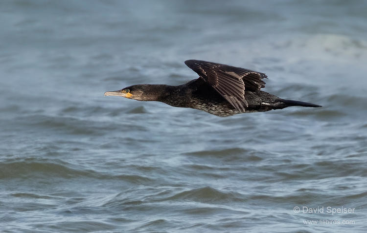 great cormorant 1 1024 ws