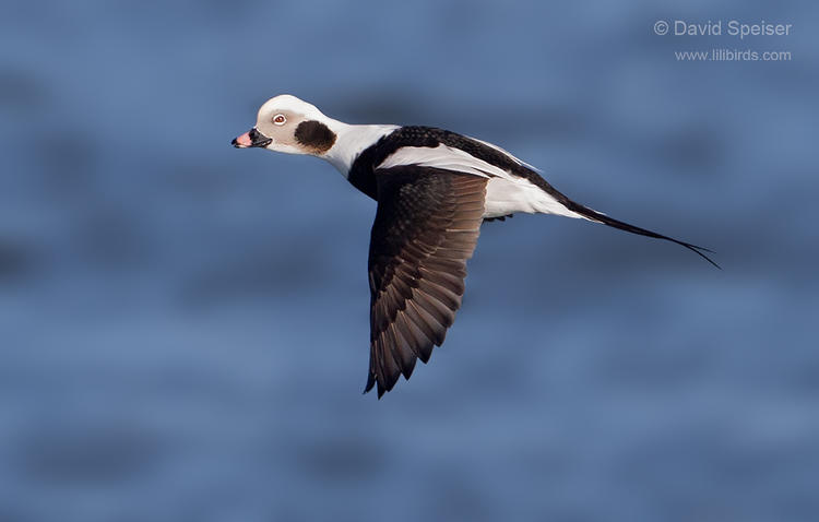 long tailed duck 2 1024 ws