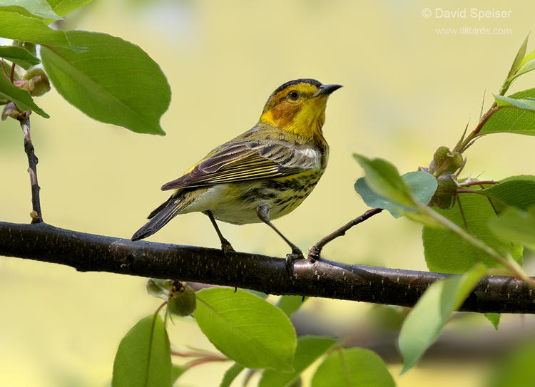 cape may warbler 1b ws