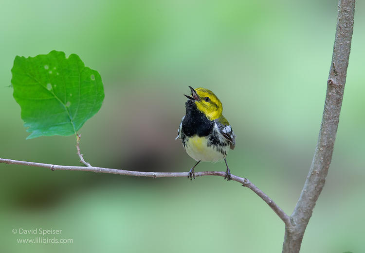 black throated green warbler 1 1024 ws