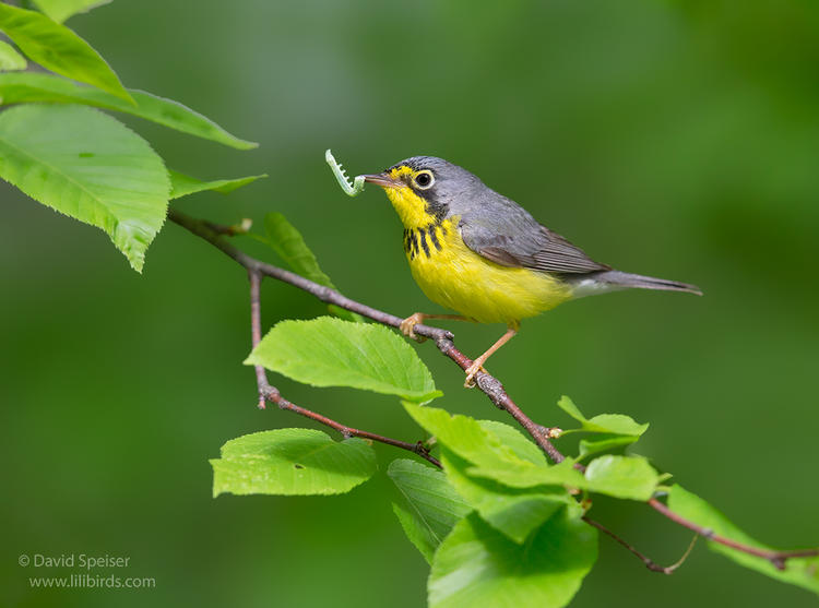 canada warbler 2a 1024 ws