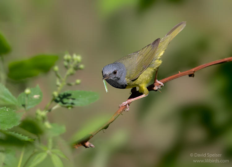 mourning warbler 1a 1024 ws
