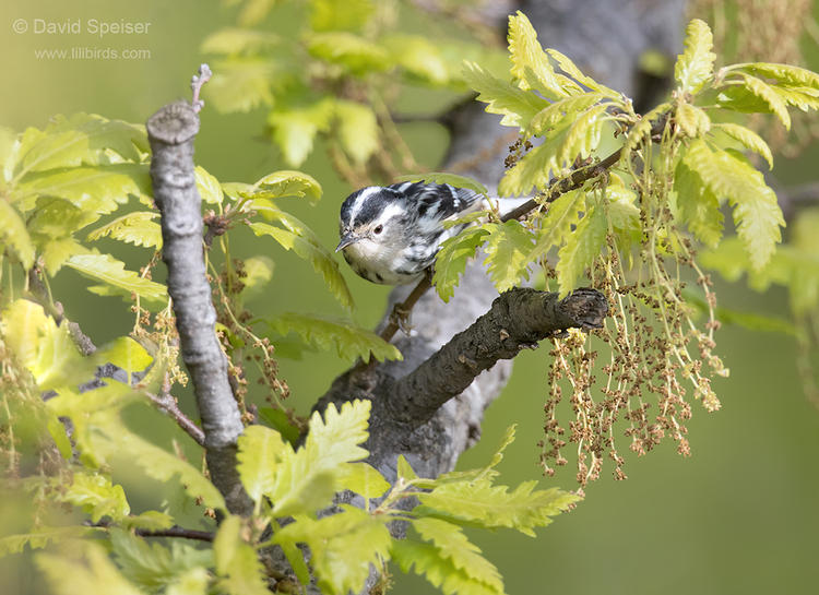black and white warbler 1b cp ws