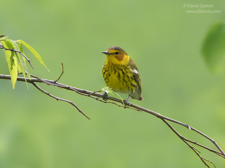 cape may warbler cp 1b 1024 ws