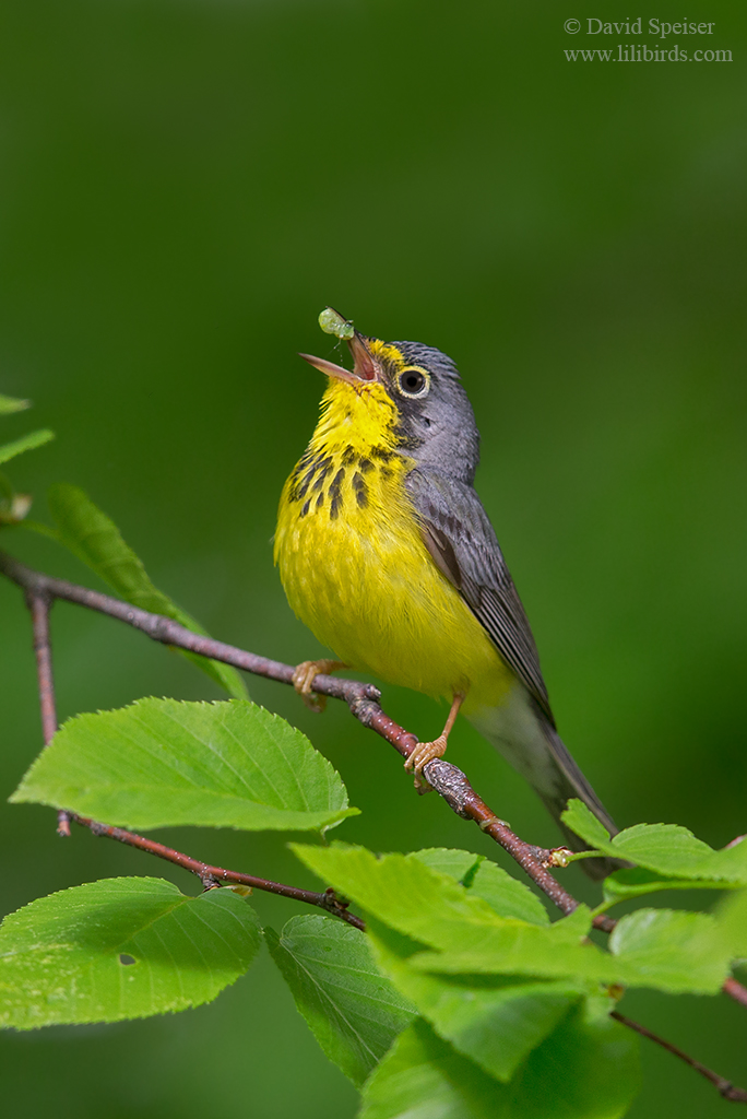 canada warbler food and singing ws
