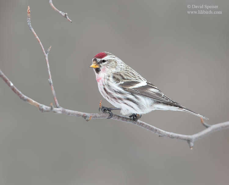 common redpoll 1 ws