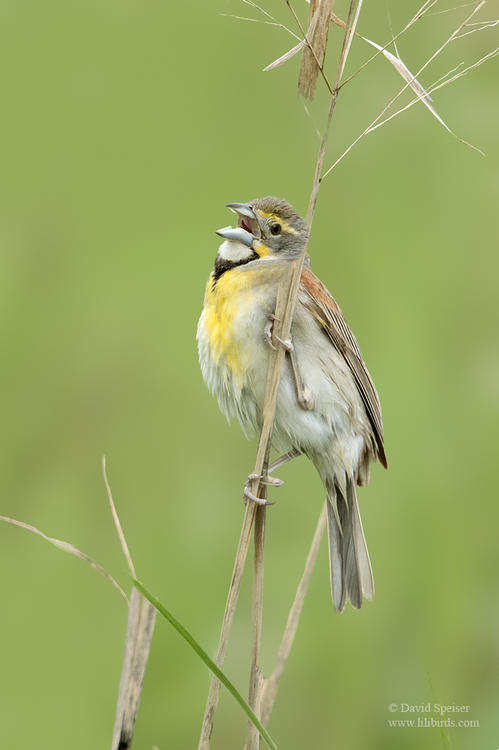 dickcissel 1a 1024 ws