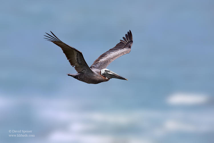 brown pelican 1 1024 ws