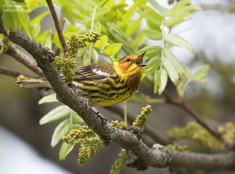 cape may warbler cp 2 1024 ws
