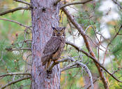 Great horned owl 1 mi ws