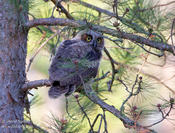 great horned owlet 1 ws