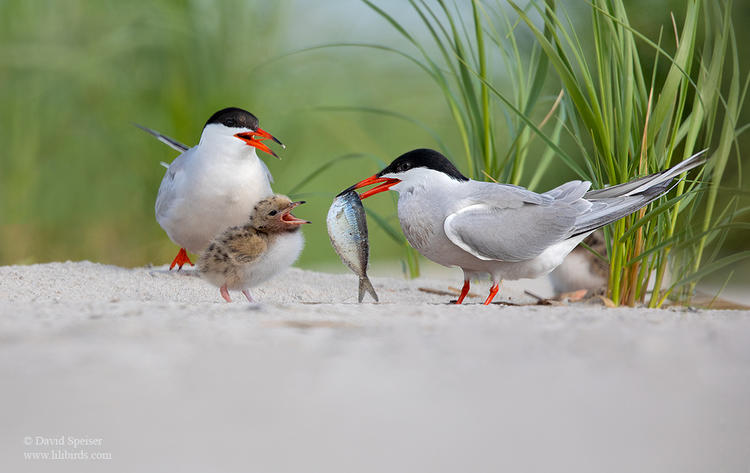 common tern family 1 1024 ws