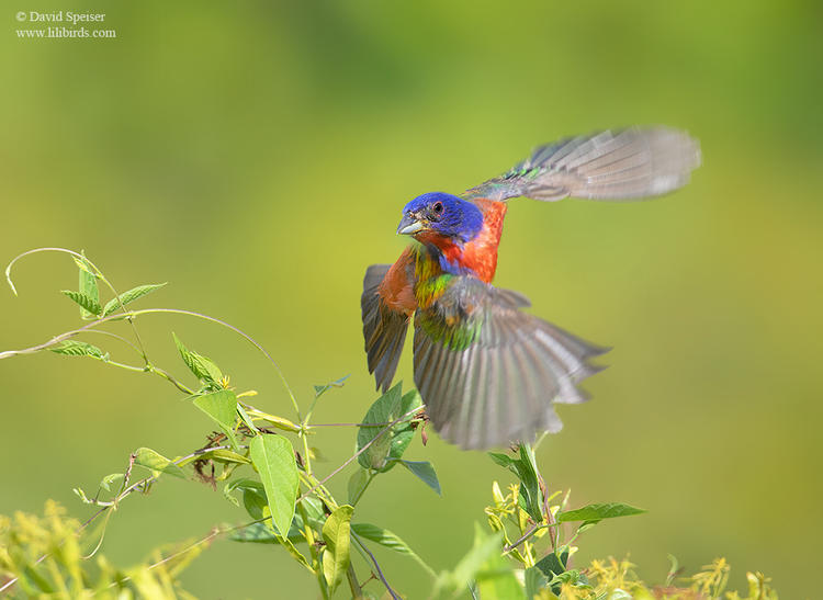 painted bunting sc 1a 1024 ws