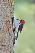 red headed woodpecker nc 1a 1024 ws