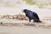 fish crow 1 1024 ws