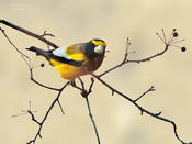 evening grosbeak 2a 1024 ws